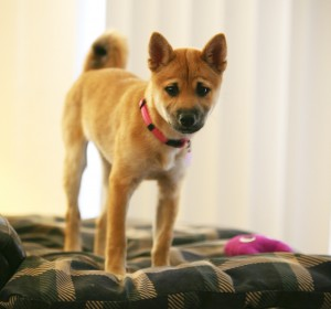 Delilah the Shiba with Rich Diet Digestive Inconsistency - by Dan Shouse