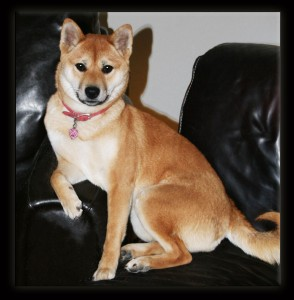Delilah the shiba at a healthy weight of 18lbs